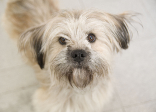 Shaggy, an adopted Lhasa Apso in Fort Smith, NT