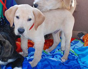 Cody, an adopted Yellow Labrador Retriever in St. Anne, IL