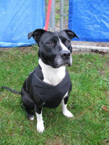 Jolie, an adopted American Staffordshire Terrier in Richmond, BC