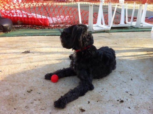 NJ - Luke, an adopted Poodle & Schnauzer Mix in Jackson, NJ