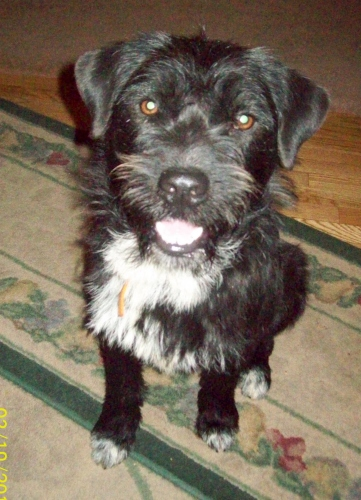 NJ - Seamus, an adopted Border Collie & Poodle Mix in Jackson, NJ