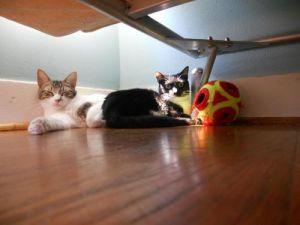 Bailey Tuxedo Cat