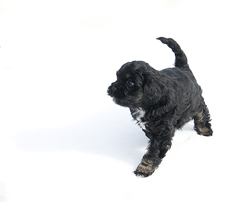 Pepper, an adopted Terrier & Cocker Spaniel Mix in Fort Smith, NT