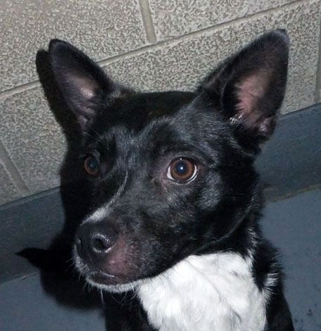 MARTY #76674, an adopted Terrier & Basenji Mix in Ravenna, OH