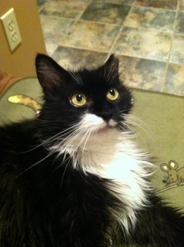 Chantelle, an adopted Domestic Long Hair in Elmwood Park, NJ