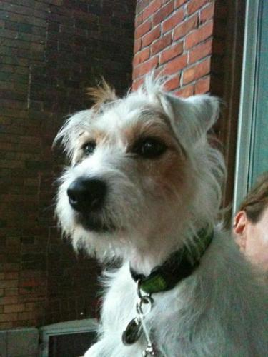 Chomper #110037, an adopted Jack Russell Terrier in Toronto, ON