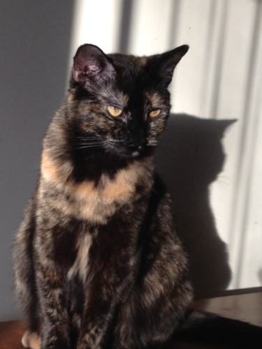 Britney, an adoptable Tortoiseshell in Saint Charles, IL