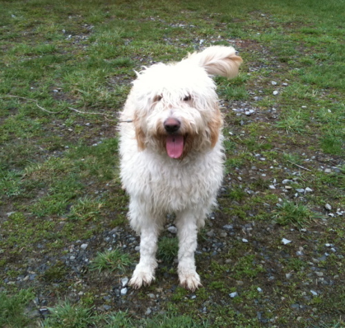 NY - Buddy, an adopted Golden Retriever & Poodle Mix in Jackson, NJ