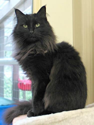 Juliette - VIDEOS, an adopted Domestic Long Hair Mix in Maple Ridge, BC