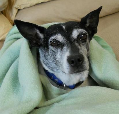 Elton, an adopted Jack Russell Terrier in Gilbert, AZ