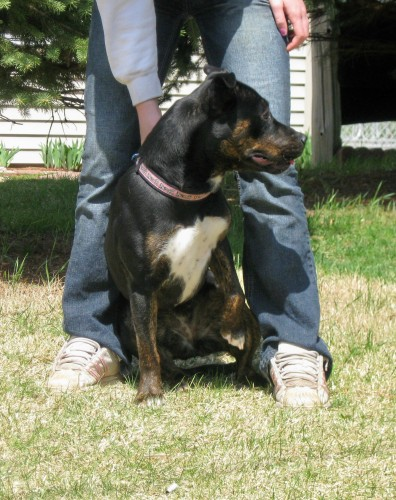 Fiona - F, an adopted Rottweiler & Pit Bull Terrier Mix in Cedar Springs, MI