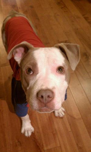Gordon, an adopted Pit Bull Terrier in Chicago, IL