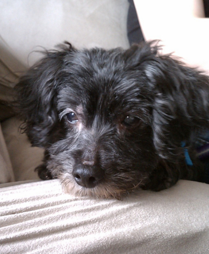 Nini, an adopted Poodle & Terrier Mix in New York, NY