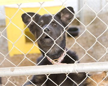 Mini, an adopted Labrador Retriever in Fort Smith, NT