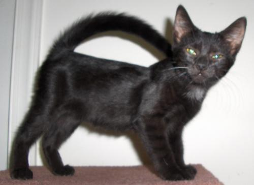 Jenna, an adopted Domestic Short Hair in Richmond, VA