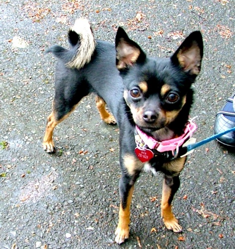 Chloe, an adopted Chihuahua & Pomeranian Mix in Portland, OR