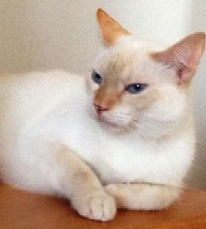 Tommy Siamese Cat