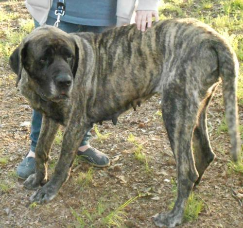 Misty, an adopted Bullmastiff & Mastiff Mix in Benton, AR