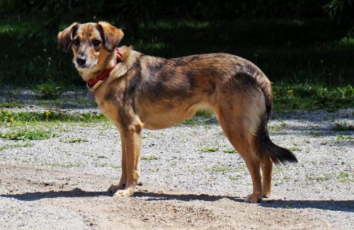 Honey, an adopted Australian Shepherd & Catahoula Leopard Dog Mix in Asheville, NC