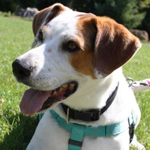 Sandy - I am a Training School Graduate!, an adopted Treeing Walker Coonhound & Hound Mix in Andover, MA