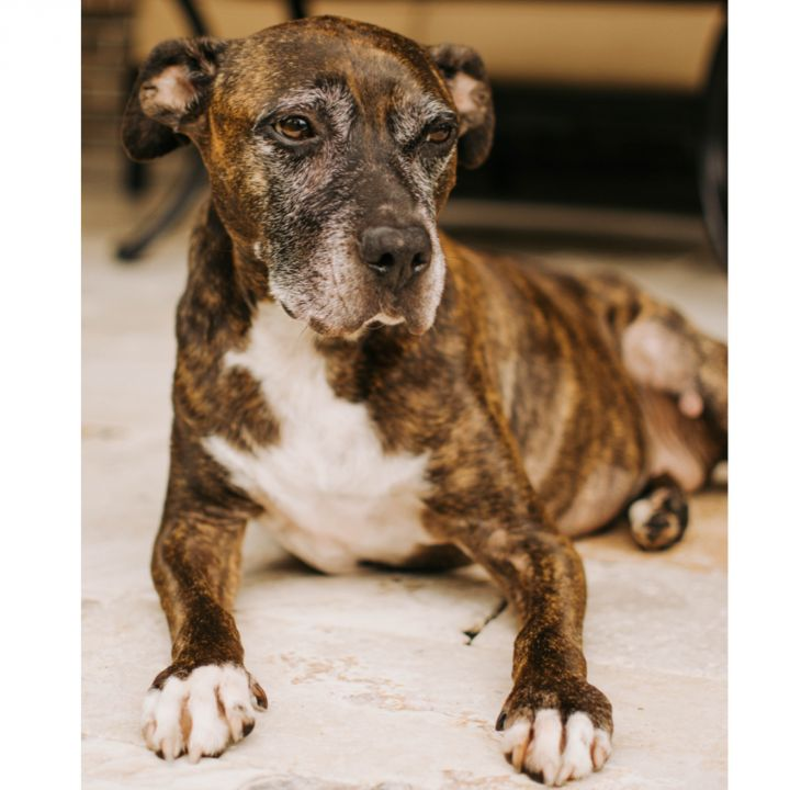 Zoey, an adoptable American Staffordshire Terrier Mix in Kingwood, TX