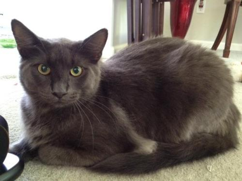 Wolf, an adopted Russian Blue & Nebelung Mix in Tallahassee, FL