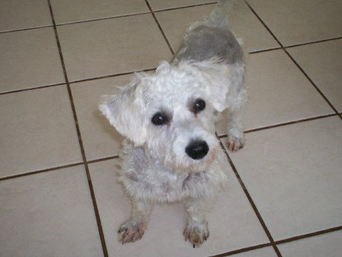 NJ - Millie, an adopted Bichon Frise & Poodle Mix in Jackson, NJ