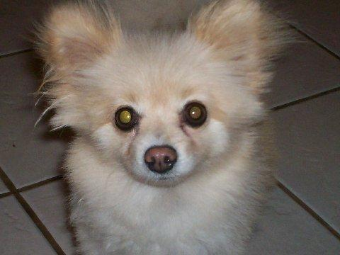 NJ - Bunny, an adopted Pomeranian in Jackson, NJ