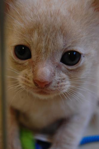 orange/cream kittens