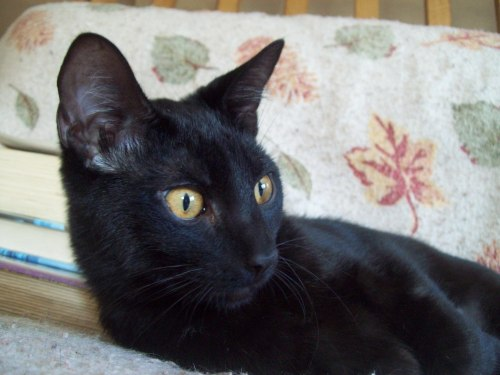 Rico, an adopted Domestic Short Hair in Tallahassee, FL