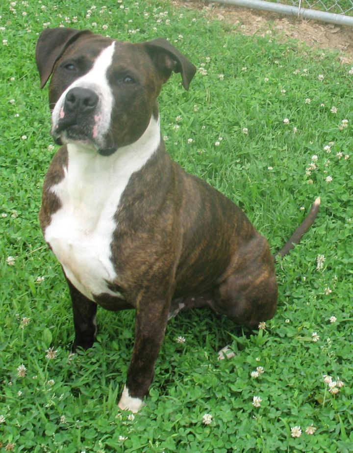 Zeus, an adopted American Bulldog Mix in Chambersburg, PA