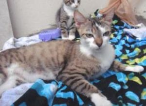 Estimated birth date June 2010 If you are interested in Mom Cat please contact FOSTER PARENT Lis