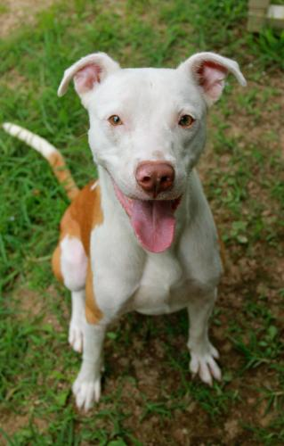 Conner, an adopted Pit Bull Terrier Mix in Rossville, TN