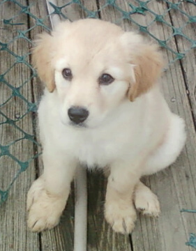 NJ - Candee, an adopted Golden Retriever & Terrier Mix in Bordentown, NJ