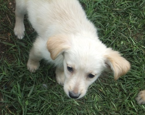 Golden Mix Puppies, an adopted Golden Retriever & Newfoundland Dog Mix in Indianapolis, IN