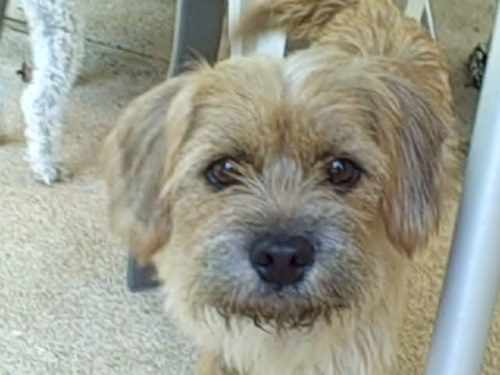 NJ - Buffy, an adopted Norfolk Terrier Mix in Jackson, NJ
