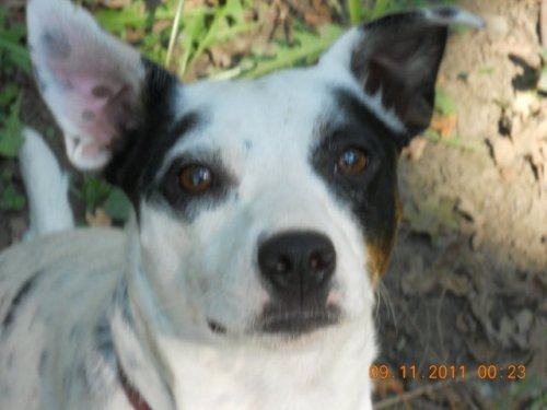 Buddy, an adopted McNab & Australian Cattle Dog / Blue Heeler Mix in Covelo, CA