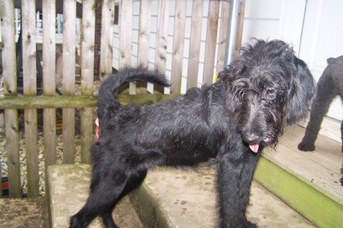 RI - Zoe, an adopted Labrador Retriever & Poodle Mix in Jackson, NJ_image-2