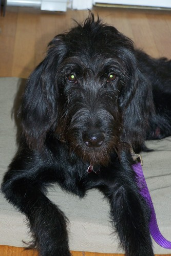 RI - Zoe, an adopted Labrador Retriever & Poodle Mix in Jackson, NJ