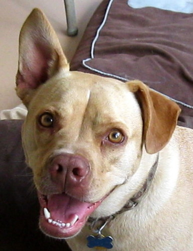 Lemoni, an adopted Labrador Retriever & Chihuahua Mix in Troy, MI