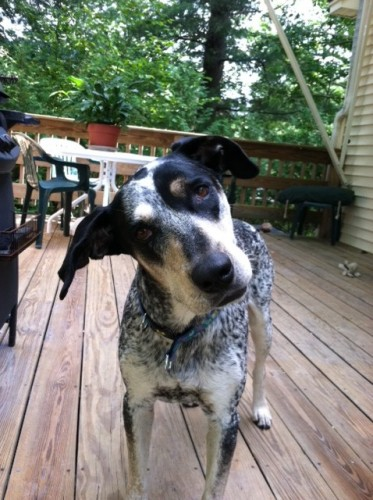 Addi, an adopted Cattle Dog Mix in Berwick, ME