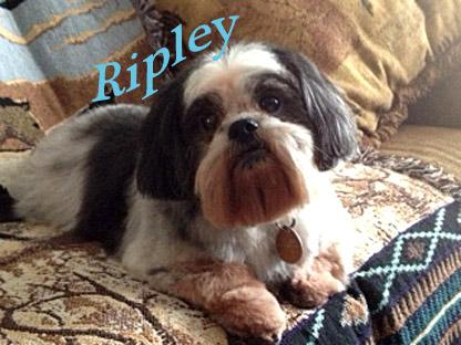 Ripley, an adopted Shih Tzu in Columbus, OH