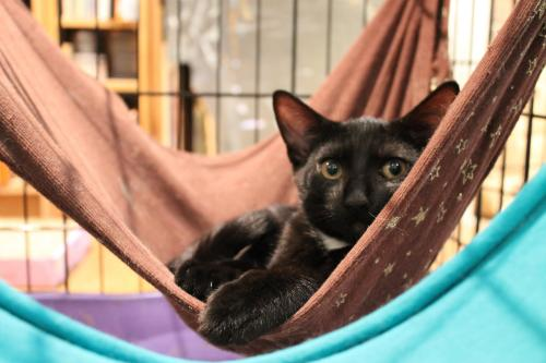 Martha, an adopted Domestic Short Hair in Jersey City, NJ