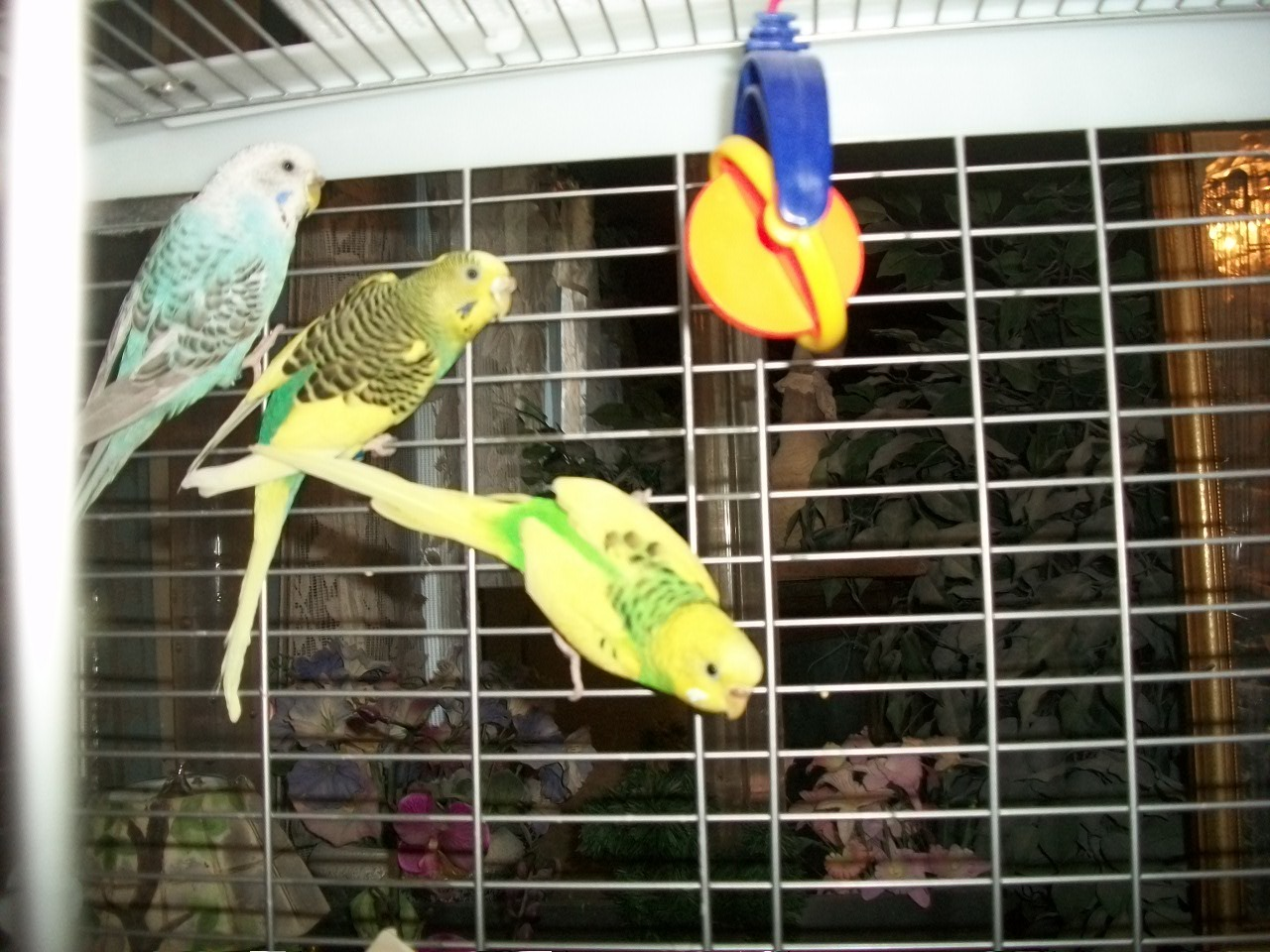 Re: Budgie Lost His Mate - Giving Him To Shelter?