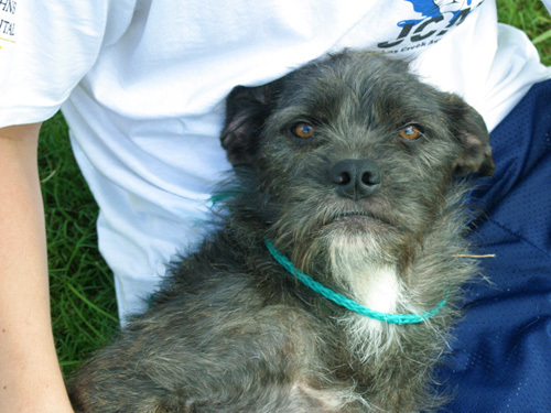 Mona, an adopted Schnauzer Mix in Jefferson, GA