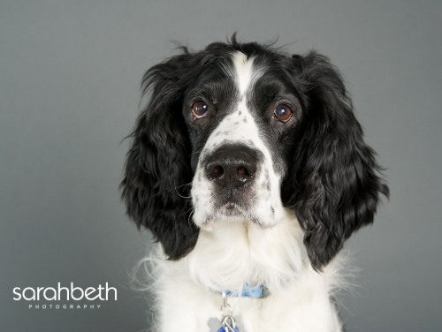 Bob, an adopted English Springer Spaniel in Hopkins, MN