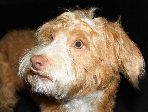 NJ - Grover, an adopted Norfolk Terrier & Poodle Mix in Bordentown, NJ_image-2
