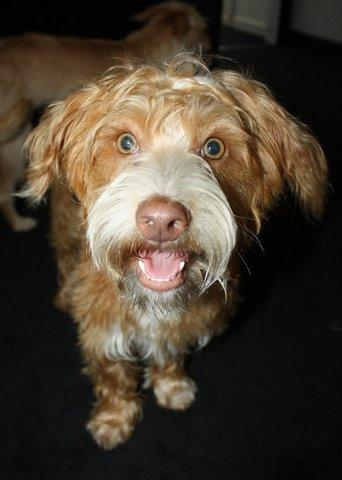 NJ - Grover, an adopted Norfolk Terrier & Poodle Mix in Bordentown, NJ_image-3