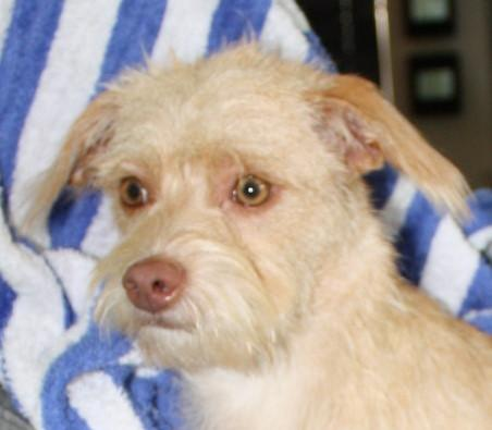NJ - Lily, an adopted Terrier & Poodle Mix in Bordentown, NJ_image-2