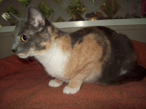 Tinkerbell, an adopted Dilute Calico Mix in Tallahassee, FL